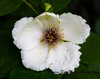Camellia Flower #1600