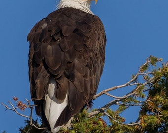 Bald Eagle in Yellowstone National Park. #8172