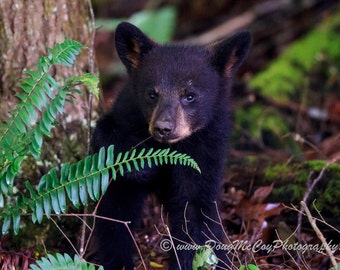 Black Bear Cub in Great Smoky Mountains. #3482