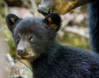Black Bear Mother and Cubs. #2442