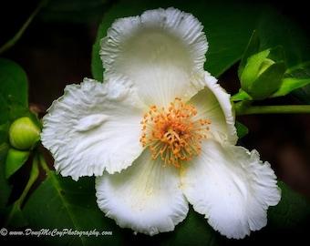 Camellia Flower #1579