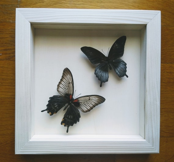 Real Papilio Lowii Pair Framed Taxidermy Home Decoration | Etsy
