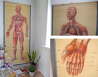 XXL ANATOMICAL School CHART /  Human Anatomical Poster / Blood vessels front