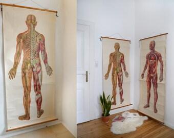 Human anatomy pull down chart XXL, back side