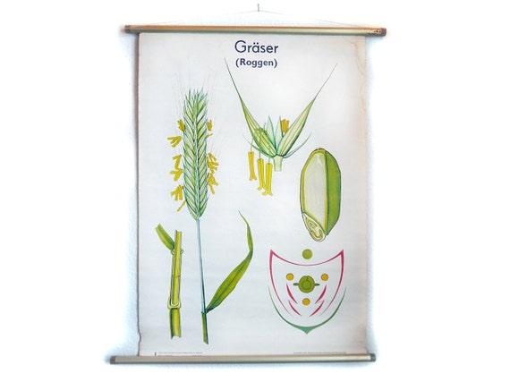 Jahrgang Pull-down-Diagramm botanische Gräser Roggen