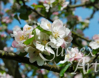 Apple blossoms wall art photograph Instant Download