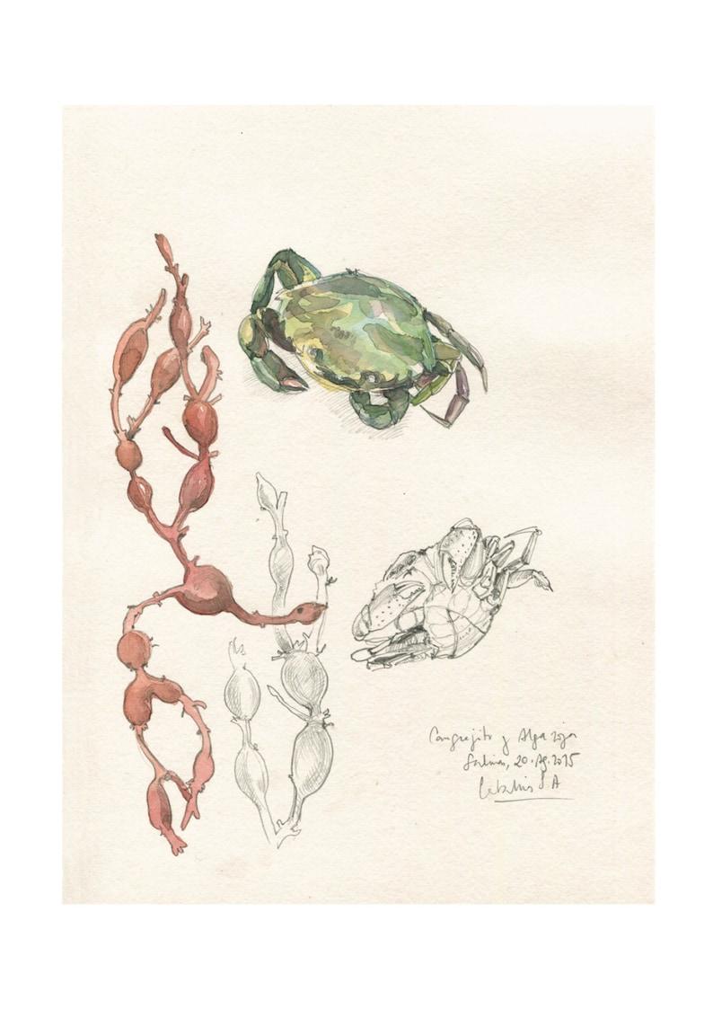 Crab and seaweed pencil watercolor drawing print maritime art decor by catalina