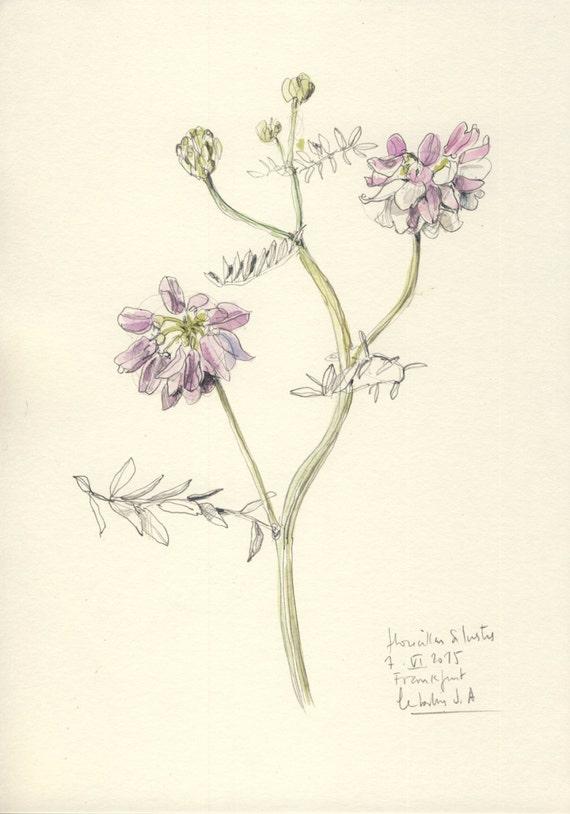 Flor azul vezas 1 dibujo a lápiz y acuarela arte botánico | Etsy