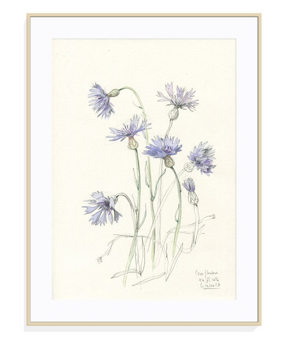 Cornflowers Botanical Drawing Print Of Watercolour And Etsy
