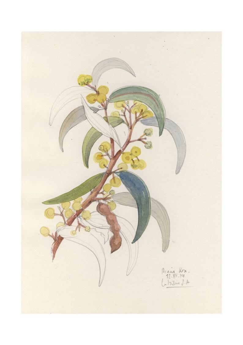 Fiore Di Acacia Koa Disegno Stampa Botanica Matita E Etsy