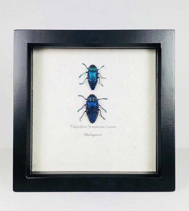 Polybothris Sumptuosa Gemma Beautifull Blue Green Coloured Jewel Beetle  Wooden Frame Entomology Insect Art