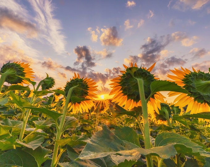 Sunflowers watching the sunrise - Various Prints