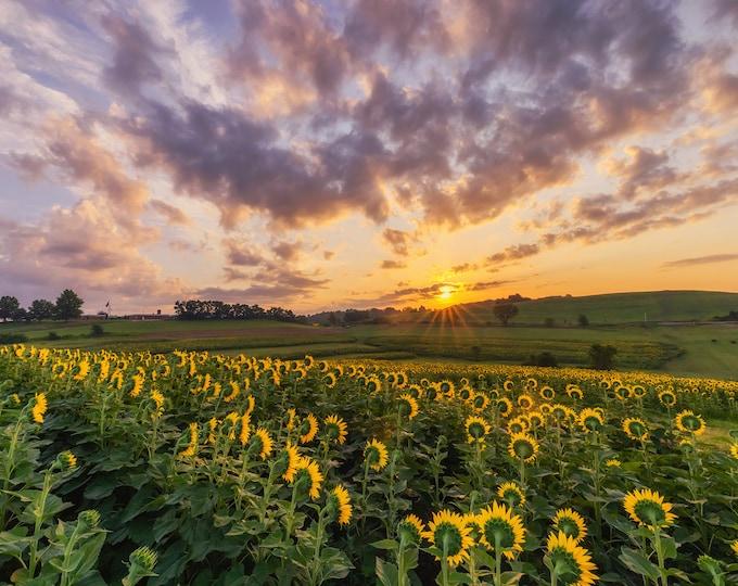 Sunrise over sunflowers - Various Prints