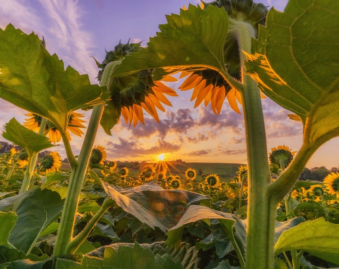 Sunflowers framing the sunrise - Various Prints