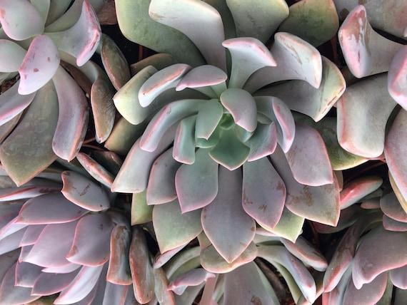 Medium Succulent Plant Graptoveria Debbie