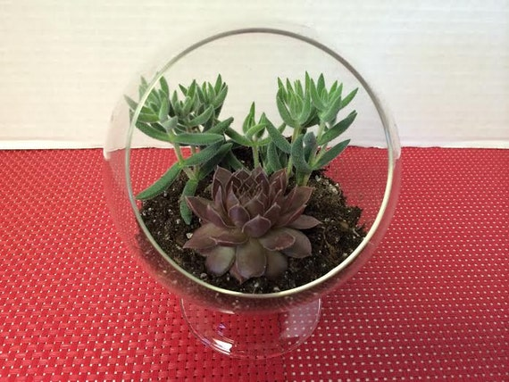 Succulent Plant Glass Pedestal Terrarium Diy Complete Kit With Etsy