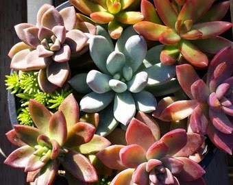 Mature Succulent Plant Assortment. A grouping of colorful succulents perfect start or addition to your succulent garden
