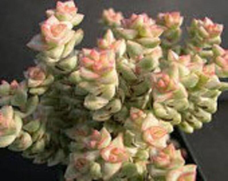 An adorable miniature. Medium Succulent Plant Crassula Tom Thumb