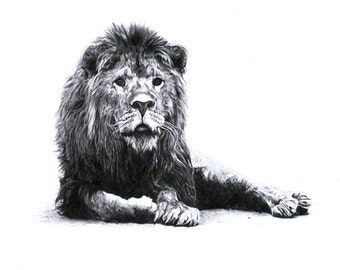 Old Grumpy Lion - Realistic Drawing. Pencil on paper. High Quality Prints. Drawn by Jake Eaton