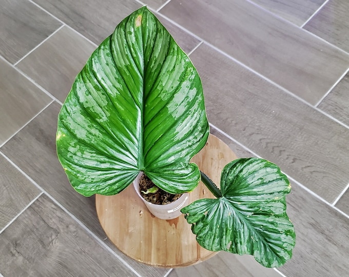 US SELLER! Philodendron Mamei 'Silver Cloud' MS002