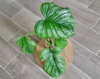 US SELLER! Philodendron Mamei 'Silver Cloud' MS006