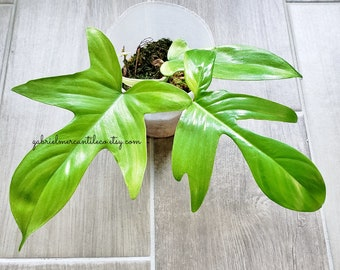 US SELLER. Premium Quality LARGE Mature Philodendron Florida Ghost #24. Healthy Established Roots. Please read terms.