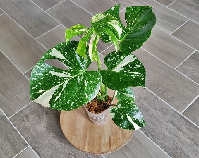 US SELLER! Medium Size Monstera Thai Constellation. Very Healthy & Established with Good Variegation MTC04 - Please read terms.