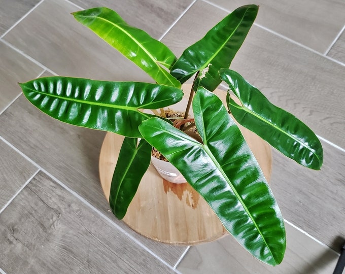 US SELLER! Philodendron Billietiae PB006 - Please read terms.