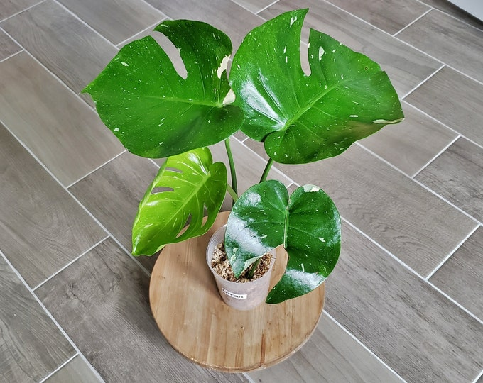 US SELLER! Medium Size Monstera Thai Constellation. Very Healthy & Established with Good Variegation MTC01 - Please read terms.