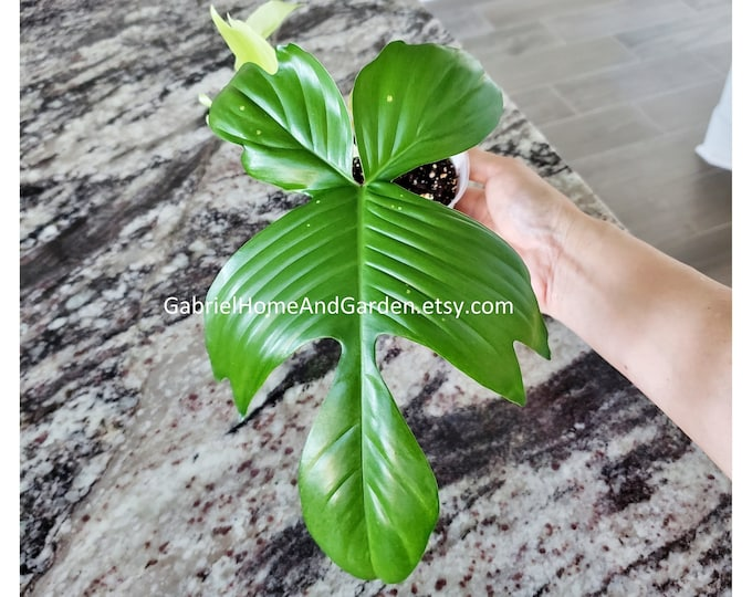 005 - Philodendron Florida Ghost [Rooted Cutting with Growth]. Please read terms.
