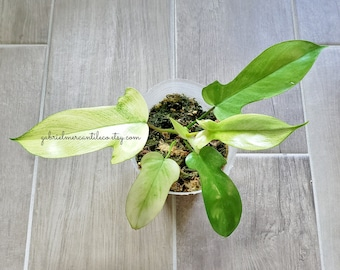 US SELLER. Premium Quality LARGE Mature Philodendron Florida Ghost #25. Healthy Established Roots. Please read terms.