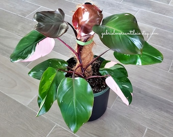 US SELLER. Premium Quality LARGE Philodendron Pink Princess. Healthy Established Roots. Please read terms.