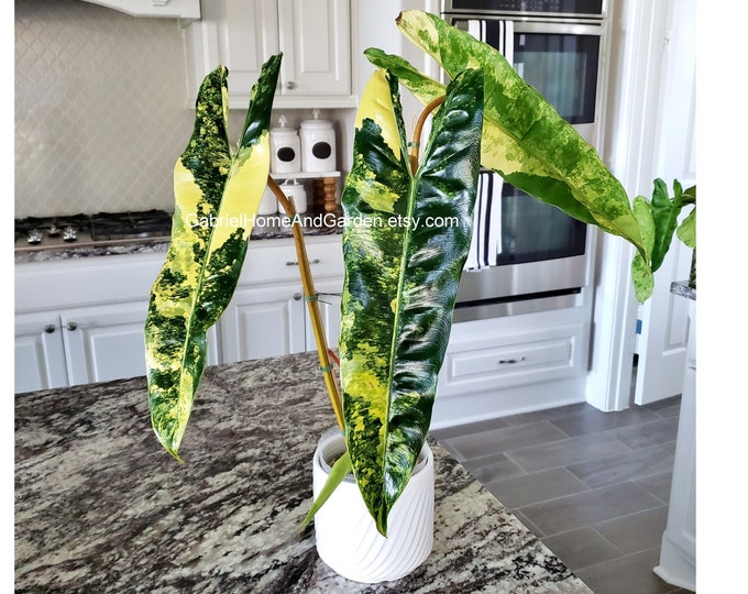 005 - ULTRA HIGH Variegated Philodendron Billietiae [4 Leaves & Growing]. Please read terms.