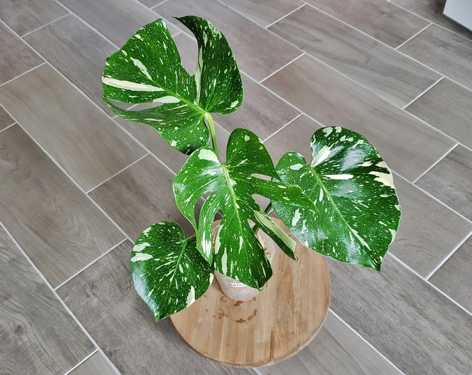 US SELLER! Medium Size Monstera Thai Constellation. Very Healthy & Established with Good Variegation MTC05 - Please read terms.