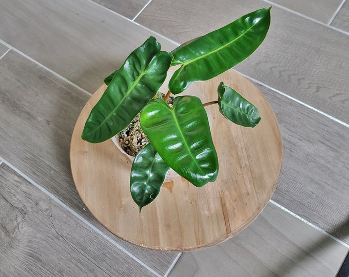 US SELLER! Philodendron Billietiae PB002 - Please read terms.