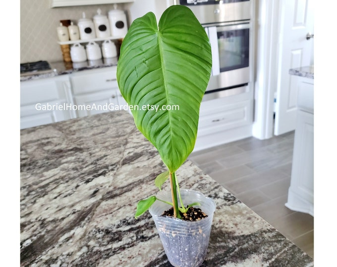 003 - Philodendron Tenue [Rooted Cutting]. Please read terms.