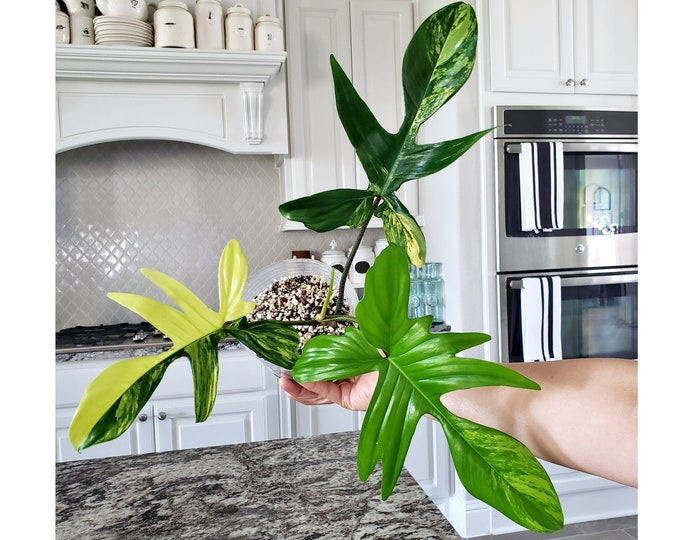 008 - ULTRA High Color Philodendron Florida Beauty. Please read terms.