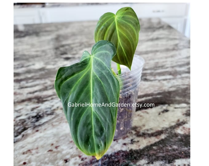 008 - Philodendron 'Splendid' (Melanochrysum x Verrucosum) [Small Rooted Cutting]. Please read terms.