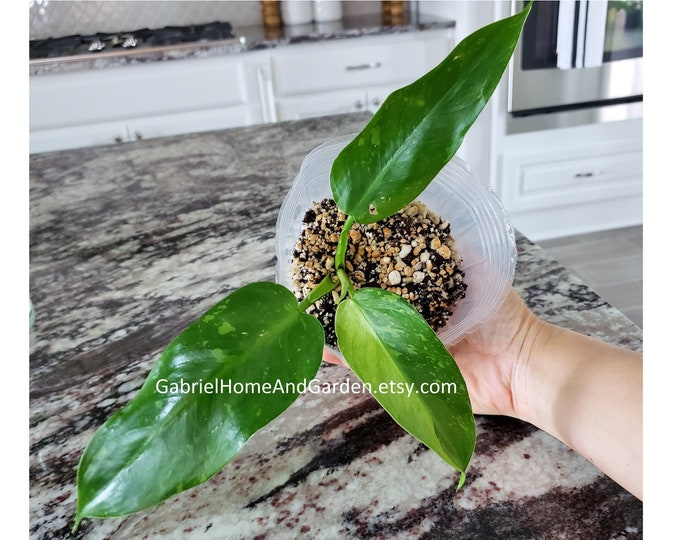 002 - Philodendron Jose Buono [Rooted Cutting with Growth]. Please read terms.