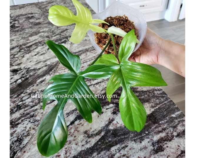 012 - Philodendron Florida Ghost [Rooted Cutting with Growth]. Please read terms.
