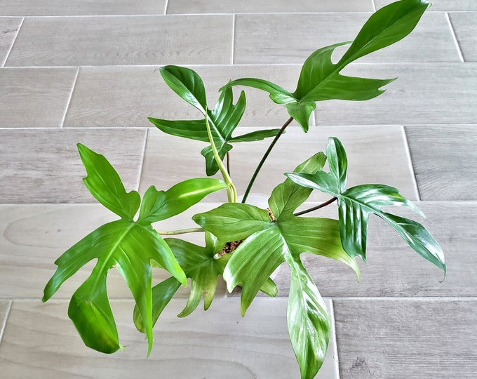 021 - Mint Philodendron Florida Ghost. Please read terms.