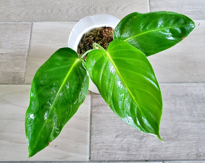 004 - Philodendron Esmeraldense Narrow Form. Please read terms.