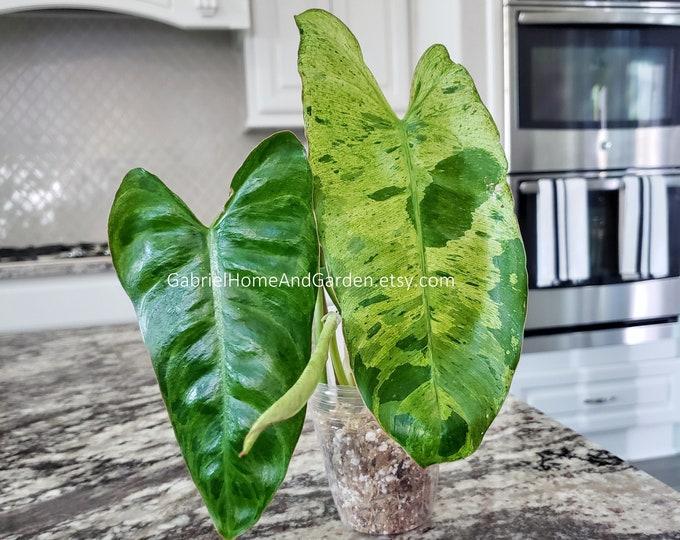 006 - Philodendron Paraiso Verde. Please read terms.