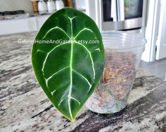 001 - Anthurium Forgetii. Please read terms.