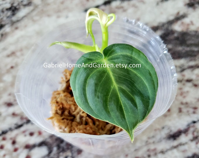 010 - Philodendron Melanochrysum [Small Rooted Cutting]. Please read terms.