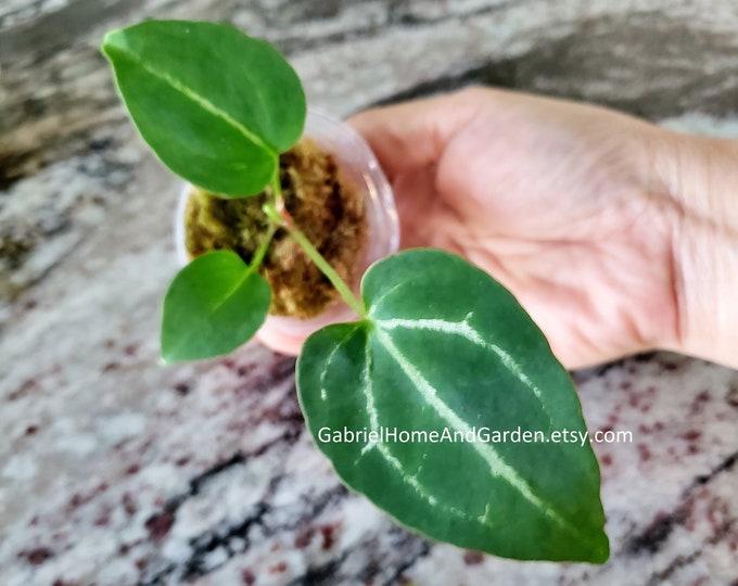 002 - Baby Anthurium Crystallinum. Please read terms.