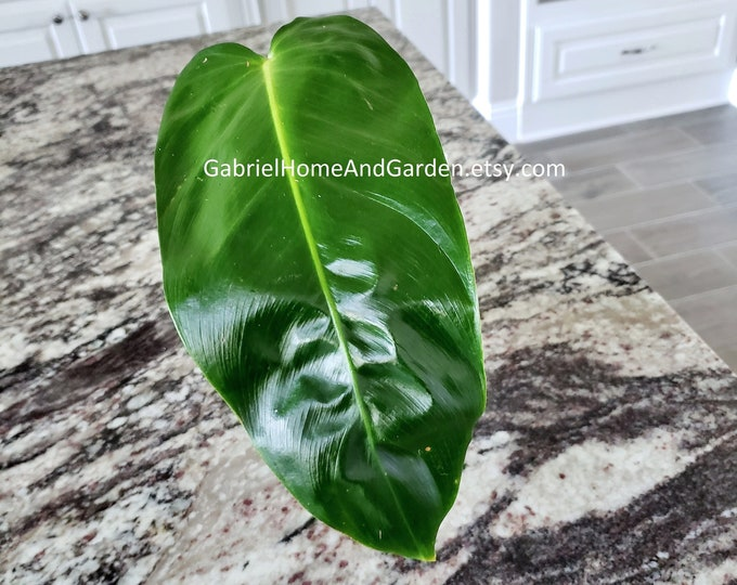 001 - Philodendron Esmeraldense [Rooted Cutting]. Please read terms.