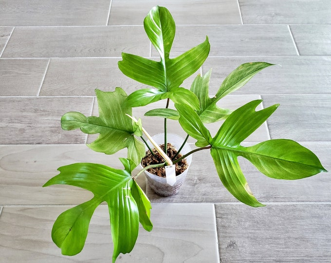 019 - Mint Philodendron Florida Ghost. Please read terms.