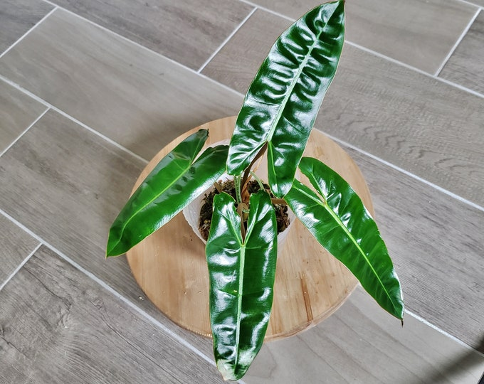 US SELLER! Philodendron Billietiae PB004 - Please read terms.