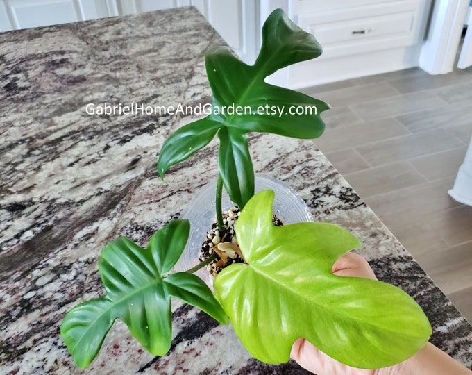 010 - Philodendron Florida Ghost [Rooted Cutting with Growth]. Please read terms.